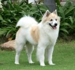 Bangkaew_Dog